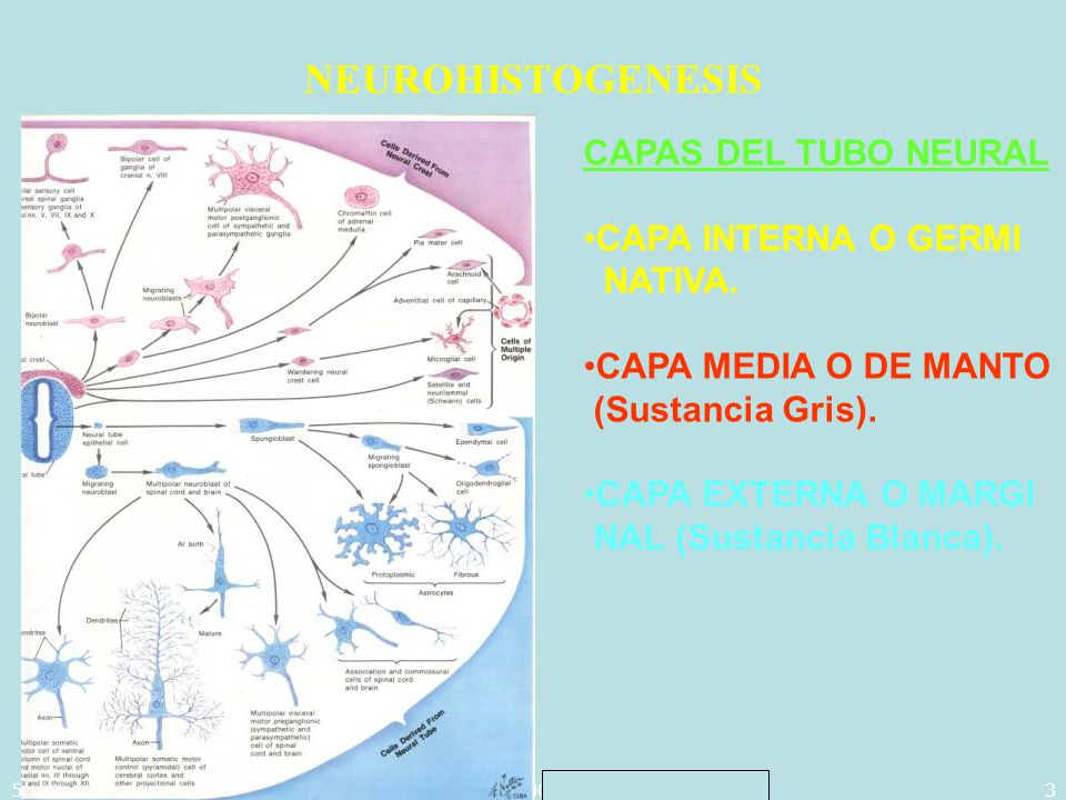 5/29/2014Template copyright 2005 www.brainybetty.com3 NEUROHISTOGENESIS CAPAS DEL TUBO NEURAL CAPA INTERNA O GERMI NATIVA. CAPA MEDIA O DE MANTO (Sust