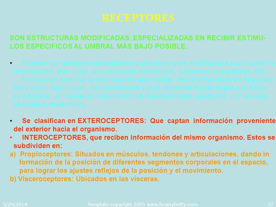 5/29/2014Template copyright 2005 www.brainybetty.com37 RECEPTORES SON ESTRUCTURAS MODIFICADAS, ESPECIALIZADAS EN RECIBIR ESTIMU- LOS ESPECIFICOS AL UM