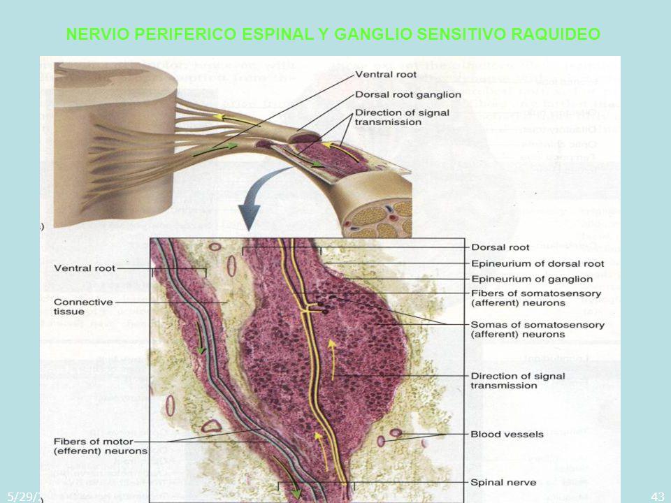 5/29/2014Template copyright 2005 www.brainybetty.com43 NERVIO PERIFERICO ESPINAL Y GANGLIO SENSITIVO RAQUIDEO