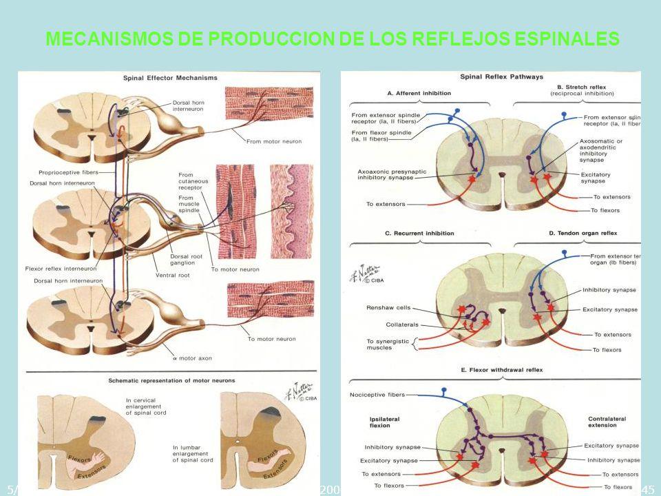 5/29/2014Template copyright 2005 www.brainybetty.com45 MECANISMOS DE PRODUCCION DE LOS REFLEJOS ESPINALES