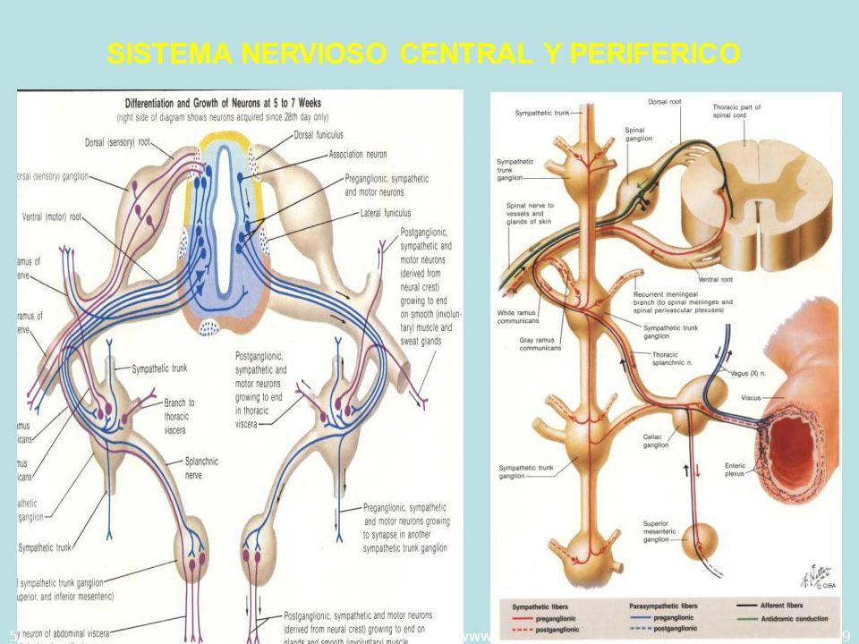 5/29/2014Template copyright 2005 www.brainybetty.com49 SISTEMA NERVIOSO CENTRAL Y PERIFERICO