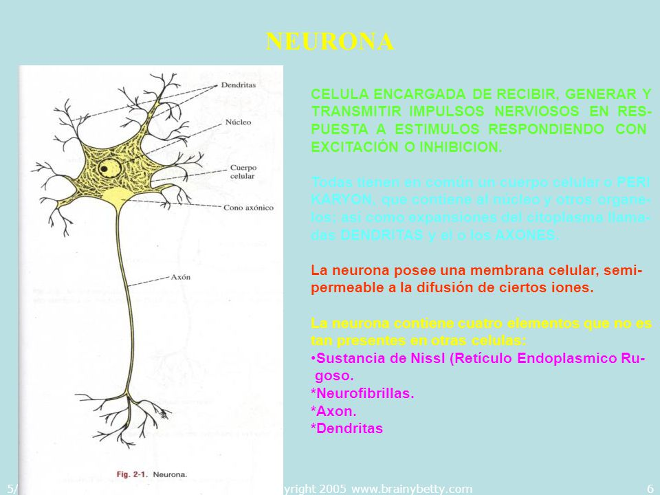 5/29/2014Template copyright 2005 www.brainybetty.com17 IMPULSO NERVIOSO MEMBRANA CITOPLASMATICA Posee una triple capa: *Mucopolisacaridos.