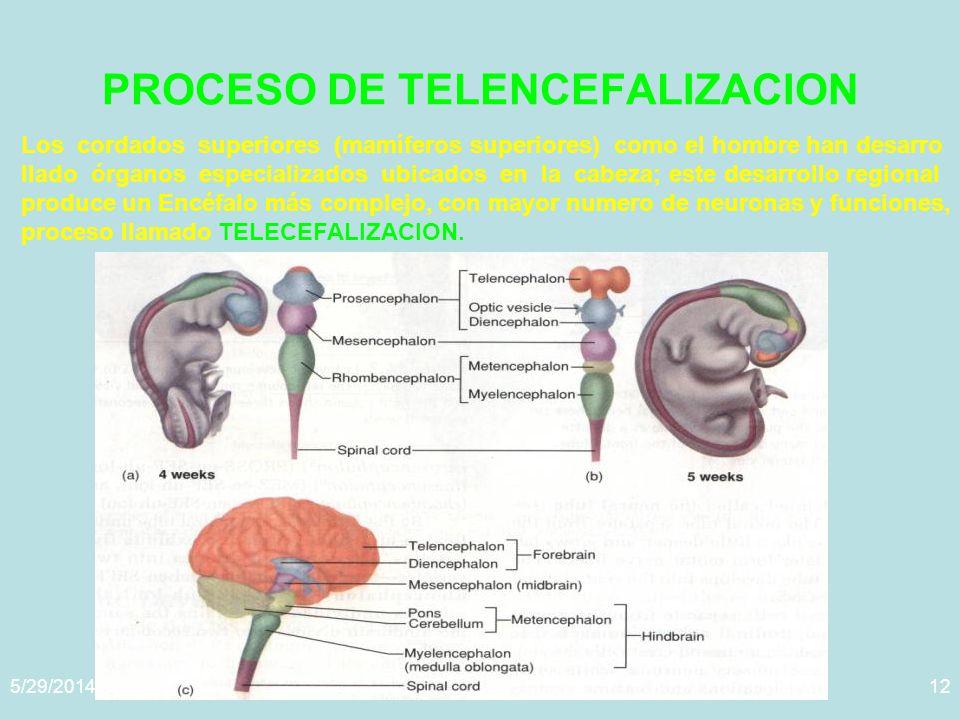 5/29/2014Template copyright www.brainybetty.com 200512 PROCESO DE TELENCEFALIZACION Los cordados superiores (mamíferos superiores) como el hombre han desarro llado órganos especializados ubicados en la cabeza; este desarrollo regional produce un Encéfalo más complejo, con mayor numero de neuronas y funciones, proceso llamado TELECEFALIZACION.