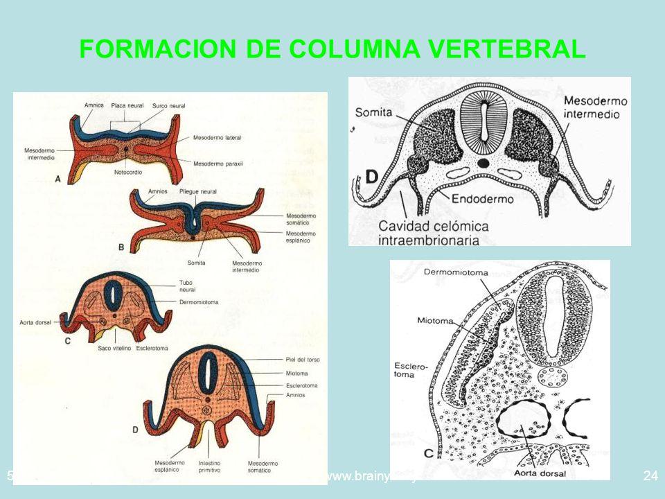 5/29/2014Template copyright www.brainybetty.com 200524 FORMACION DE COLUMNA VERTEBRAL