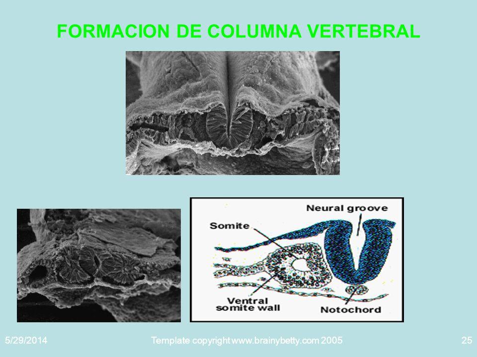 5/29/2014Template copyright www.brainybetty.com 200525 FORMACION DE COLUMNA VERTEBRAL