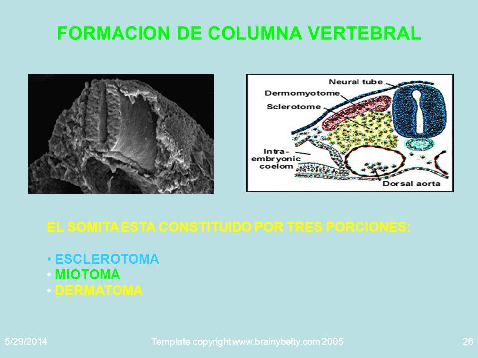 5/29/2014Template copyright www.brainybetty.com 200526 FORMACION DE COLUMNA VERTEBRAL EL SOMITA ESTA CONSTITUIDO POR TRES PORCIONES: ESCLEROTOMA MIOTOMA DERMATOMA