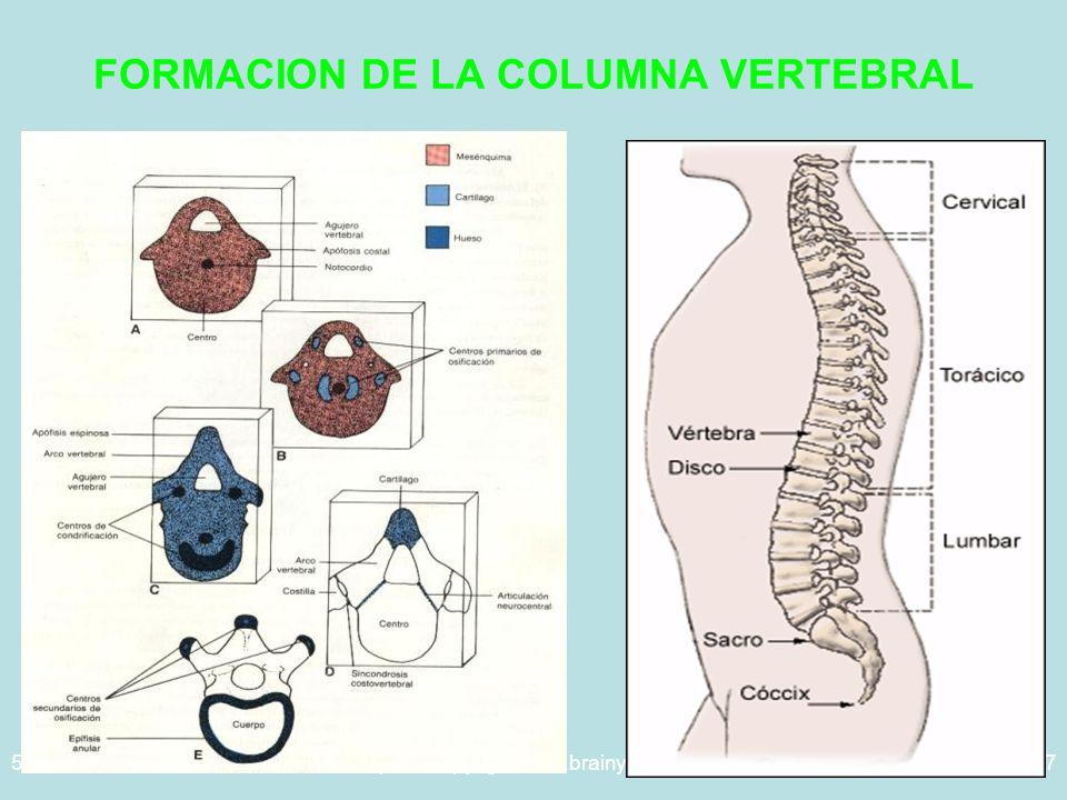 5/29/2014Template copyright www.brainybetty.com 200527 FORMACION DE LA COLUMNA VERTEBRAL