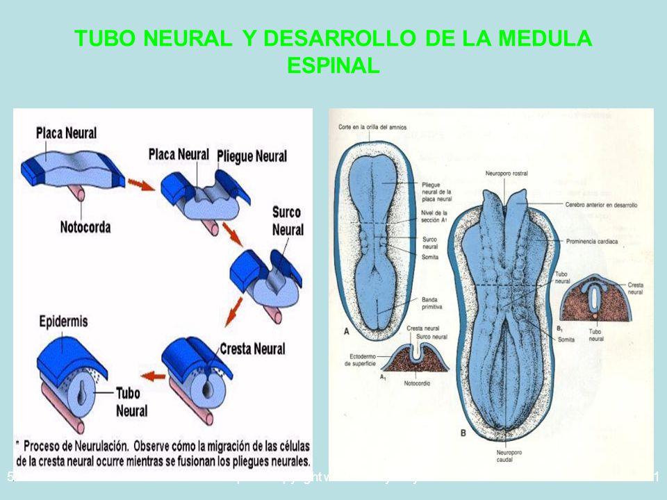 5/29/2014Template copyright www.brainybetty.com 200531 TUBO NEURAL Y DESARROLLO DE LA MEDULA ESPINAL