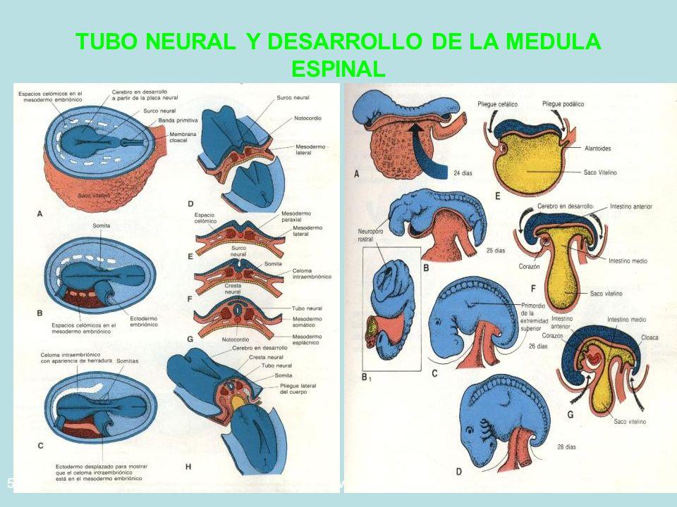 5/29/2014Template copyright www.brainybetty.com 200532 TUBO NEURAL Y DESARROLLO DE LA MEDULA ESPINAL