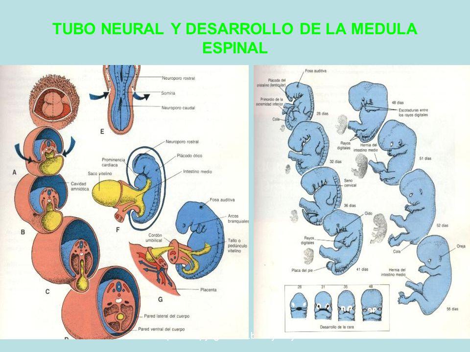 5/29/2014Template copyright www.brainybetty.com 200533 TUBO NEURAL Y DESARROLLO DE LA MEDULA ESPINAL
