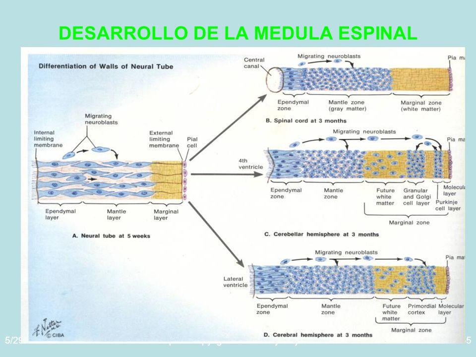 5/29/2014Template copyright www.brainybetty.com 200535 DESARROLLO DE LA MEDULA ESPINAL