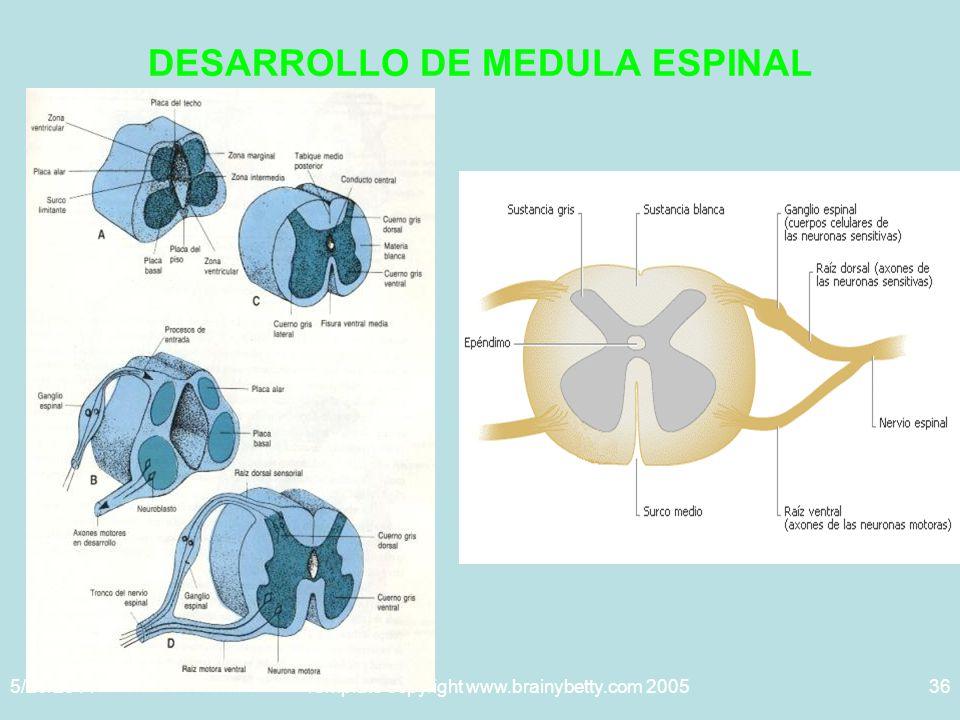 5/29/2014Template copyright www.brainybetty.com 200536 DESARROLLO DE MEDULA ESPINAL