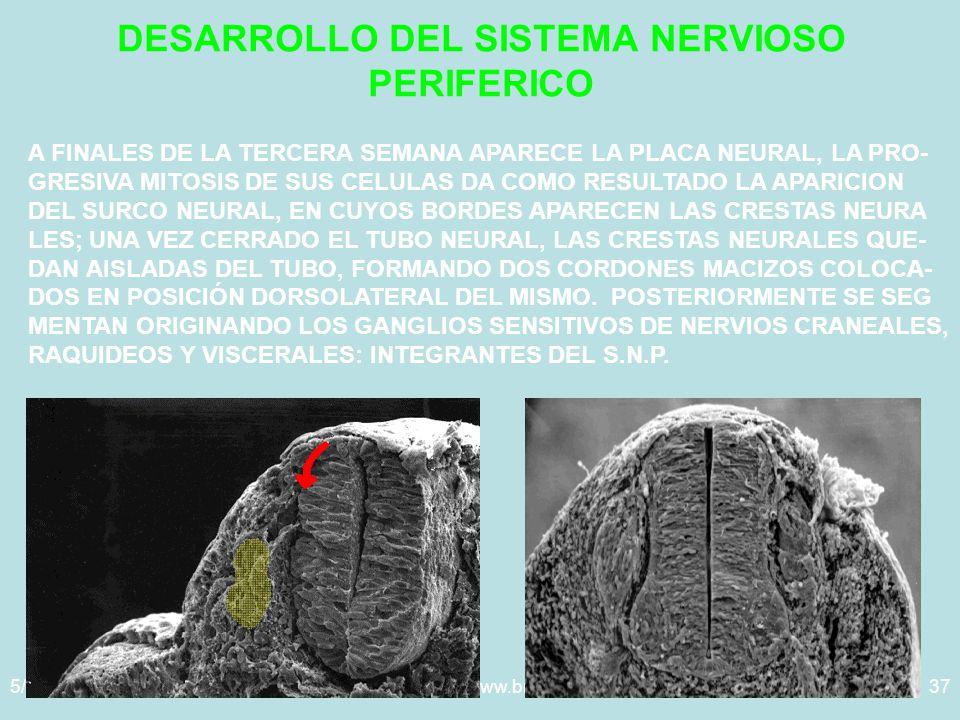 5/29/2014Template copyright www.brainybetty.com 200537 DESARROLLO DEL SISTEMA NERVIOSO PERIFERICO A FINALES DE LA TERCERA SEMANA APARECE LA PLACA NEURAL, LA PRO- GRESIVA MITOSIS DE SUS CELULAS DA COMO RESULTADO LA APARICION DEL SURCO NEURAL, EN CUYOS BORDES APARECEN LAS CRESTAS NEURA LES; UNA VEZ CERRADO EL TUBO NEURAL, LAS CRESTAS NEURALES QUE- DAN AISLADAS DEL TUBO, FORMANDO DOS CORDONES MACIZOS COLOCA- DOS EN POSICIÓN DORSOLATERAL DEL MISMO.