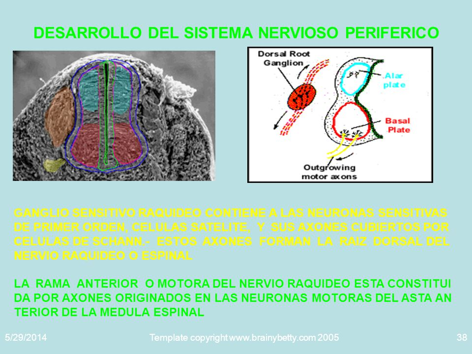 5/29/2014Template copyright www.brainybetty.com 200538 DESARROLLO DEL SISTEMA NERVIOSO PERIFERICO GANGLIO SENSITIVO RAQUIDEO CONTIENE A LAS NEURONAS SENSITIVAS DE PRIMER ORDEN, CELULAS SATELITE, Y SUS AXONES CUBIERTOS POR CELULAS DE SCHANN.- ESTOS AXONES FORMAN LA RAIZ DORSAL DEL NERVIO RAQUIDEO O ESPINAL LA RAMA ANTERIOR O MOTORA DEL NERVIO RAQUIDEO ESTA CONSTITUI DA POR AXONES ORIGINADOS EN LAS NEURONAS MOTORAS DEL ASTA AN TERIOR DE LA MEDULA ESPINAL