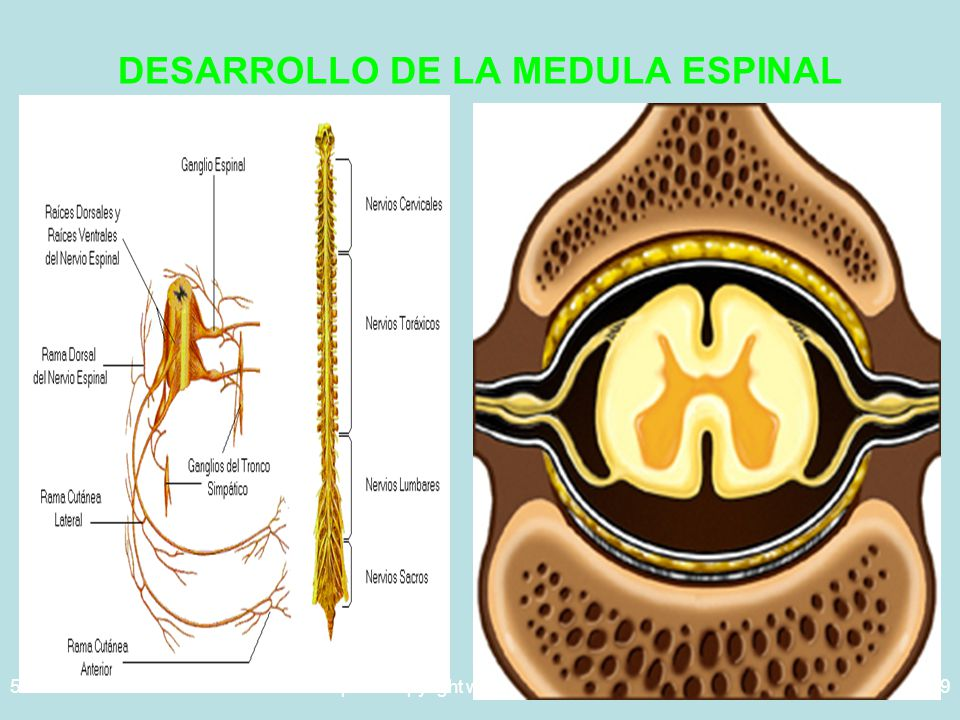 5/29/2014Template copyright www.brainybetty.com 200539 DESARROLLO DE LA MEDULA ESPINAL