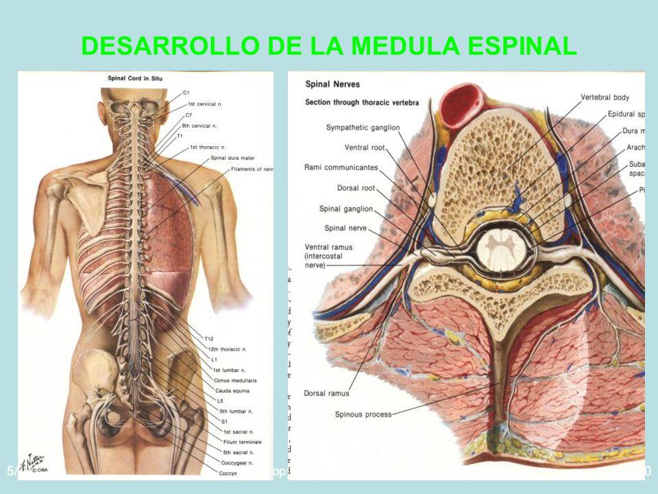 5/29/2014Template copyright www.brainybetty.com 200540 DESARROLLO DE LA MEDULA ESPINAL