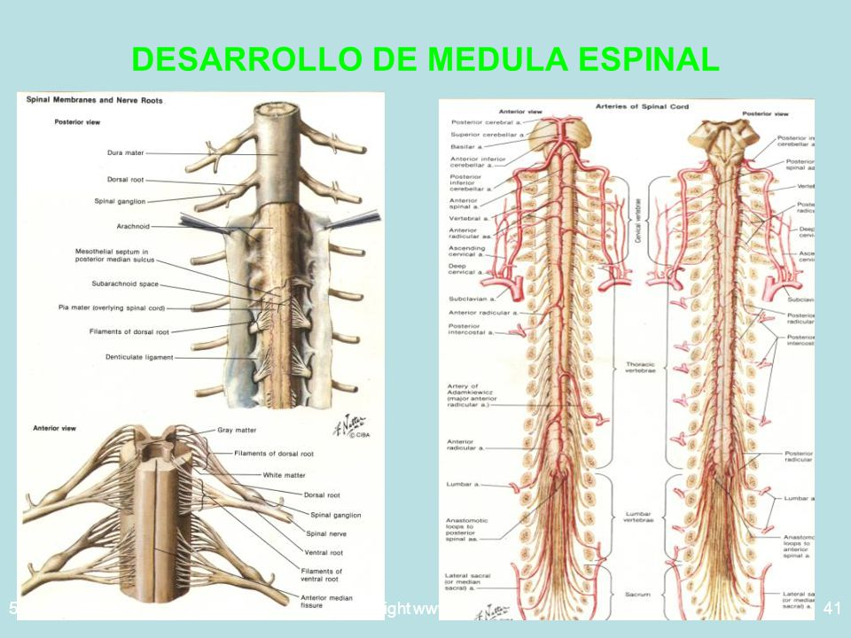 5/29/2014Template copyright www.brainybetty.com 200541 DESARROLLO DE MEDULA ESPINAL
