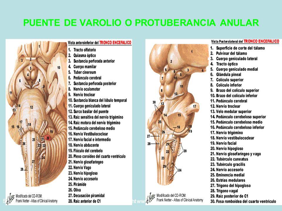 5/29/2014Template copyright www.brainybetty.com 200549 PUENTE DE VAROLIO O PROTUBERANCIA ANULAR