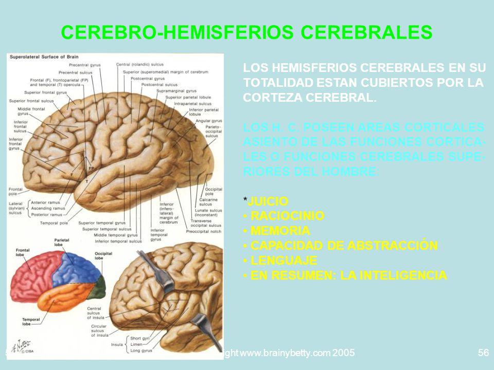 5/29/2014Template copyright www.brainybetty.com 200556 CEREBRO-HEMISFERIOS CEREBRALES LOS HEMISFERIOS CEREBRALES EN SU TOTALIDAD ESTAN CUBIERTOS POR LA CORTEZA CEREBRAL.