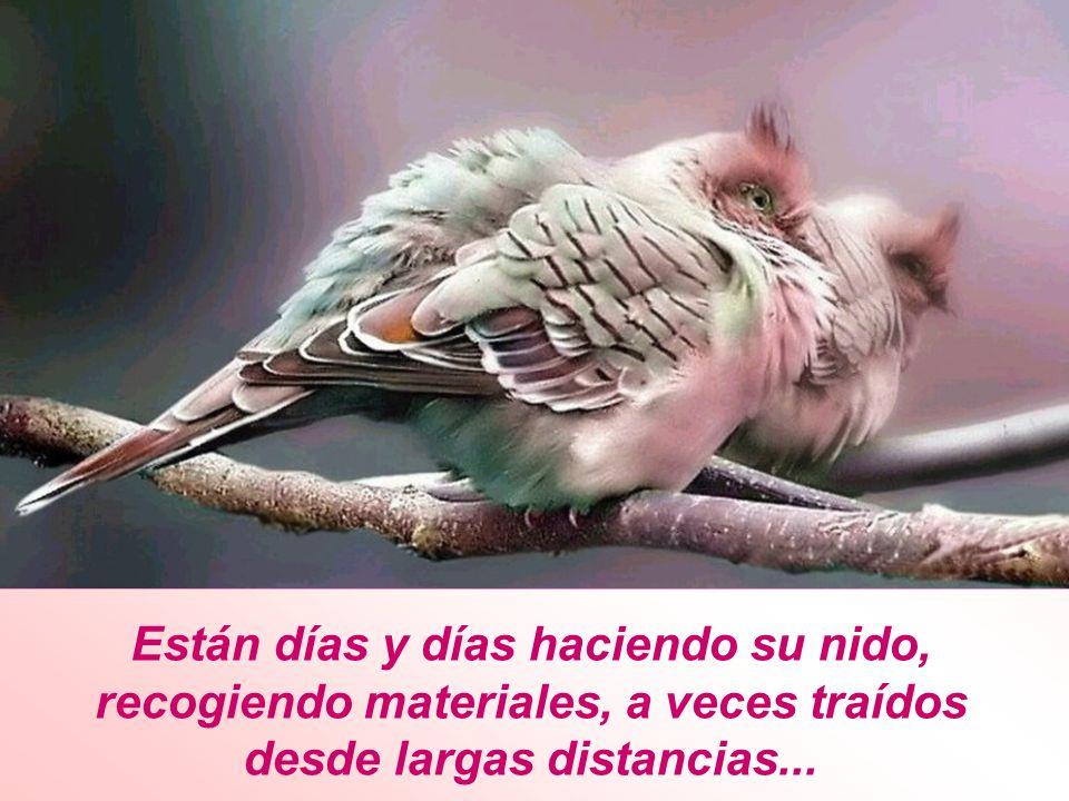 Están días y días haciendo su nido, recogiendo materiales, a veces traídos desde largas distancias...
