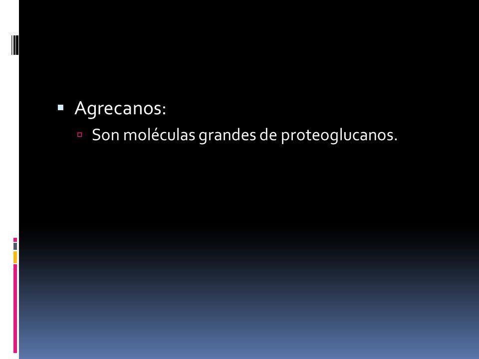 Agrecanos: Son moléculas grandes de proteoglucanos.