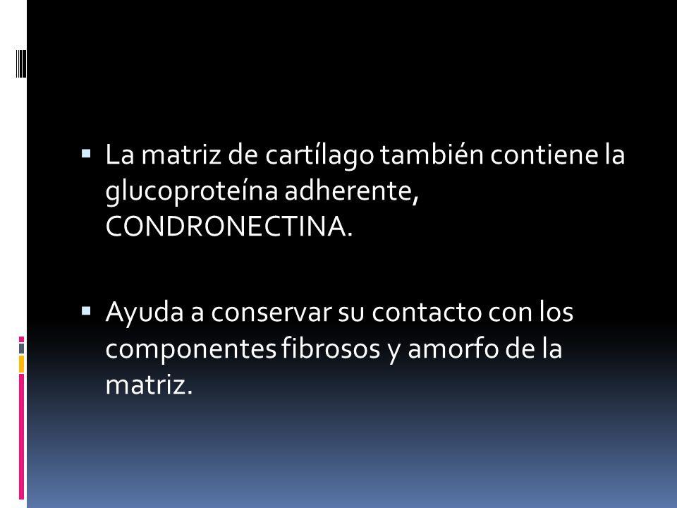 La matriz de cartílago también contiene la glucoproteína adherente, CONDRONECTINA. Ayuda a conservar su contacto con los componentes fibrosos y amorfo