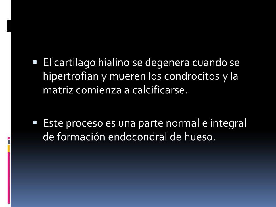 El cartilago hialino se degenera cuando se hipertrofian y mueren los condrocitos y la matriz comienza a calcificarse. Este proceso es una parte normal