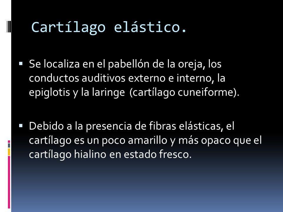 Cartílago elástico. Se localiza en el pabellón de la oreja, los conductos auditivos externo e interno, la epiglotis y la laringe (cartílago cuneiforme