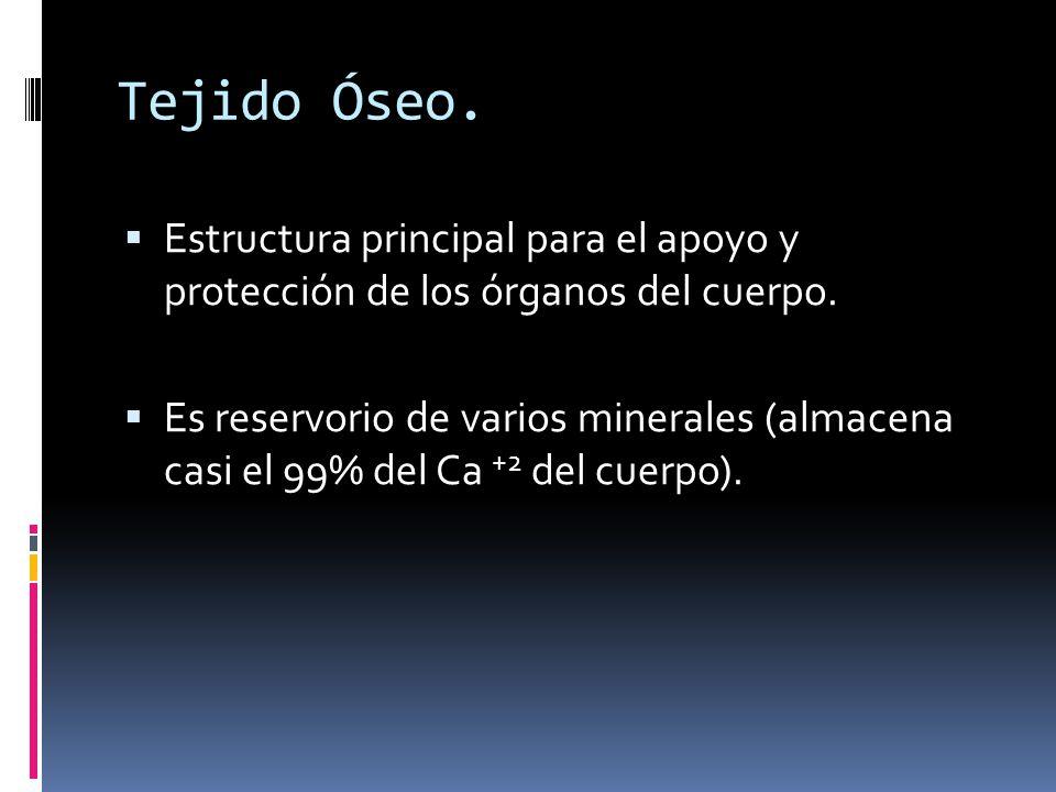 Tejido Óseo. Estructura principal para el apoyo y protección de los órganos del cuerpo. Es reservorio de varios minerales (almacena casi el 99% del Ca