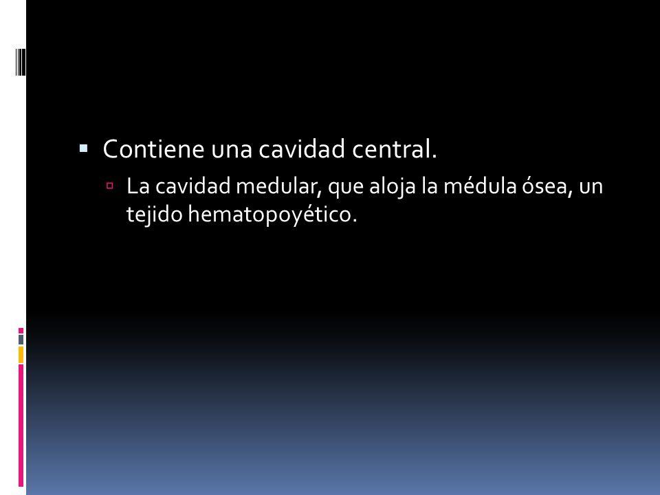 Contiene una cavidad central. La cavidad medular, que aloja la médula ósea, un tejido hematopoyético.