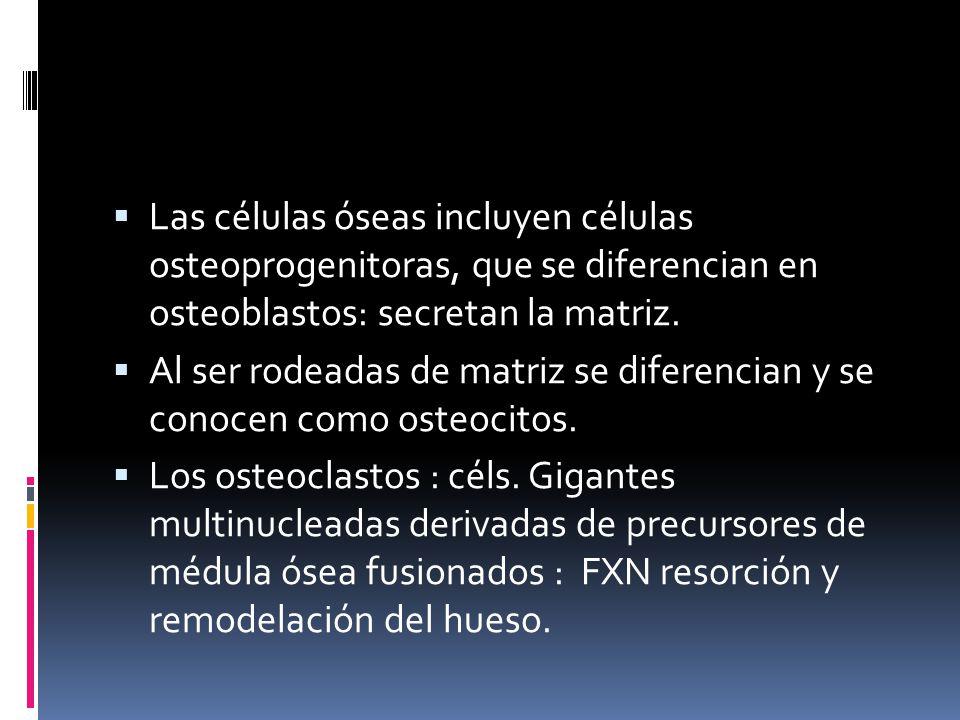 Las células óseas incluyen células osteoprogenitoras, que se diferencian en osteoblastos: secretan la matriz. Al ser rodeadas de matriz se diferencian