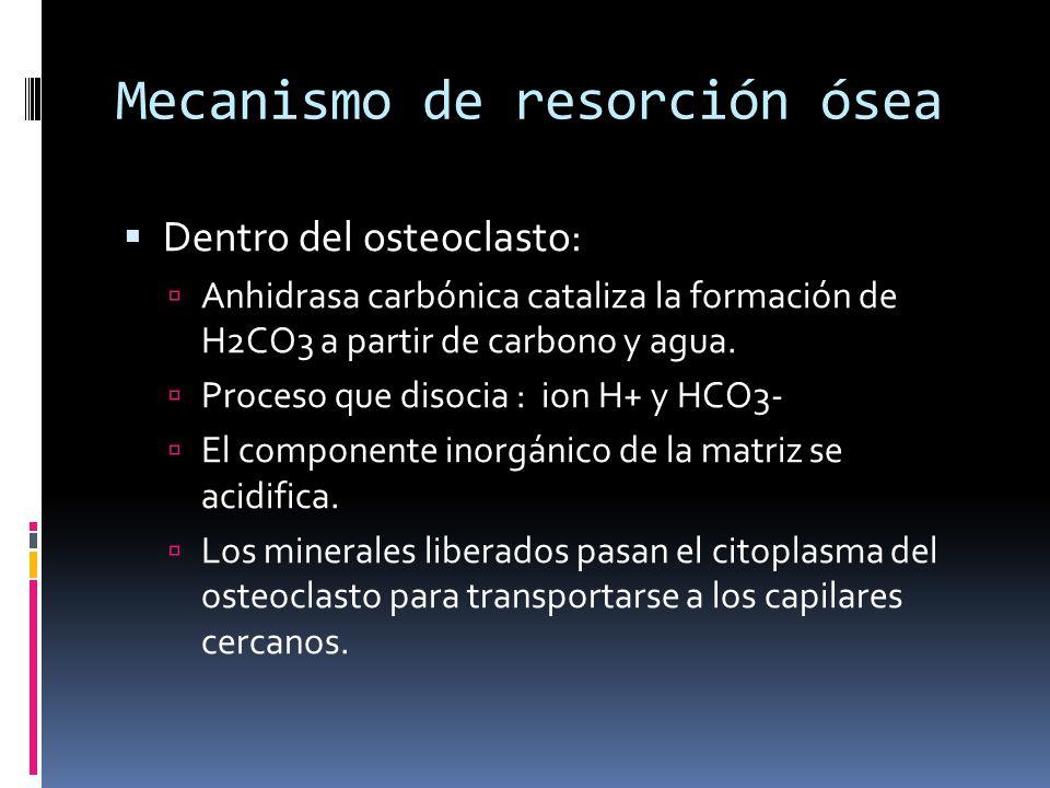 Mecanismo de resorción ósea Dentro del osteoclasto: Anhidrasa carbónica cataliza la formación de H2CO3 a partir de carbono y agua. Proceso que disocia