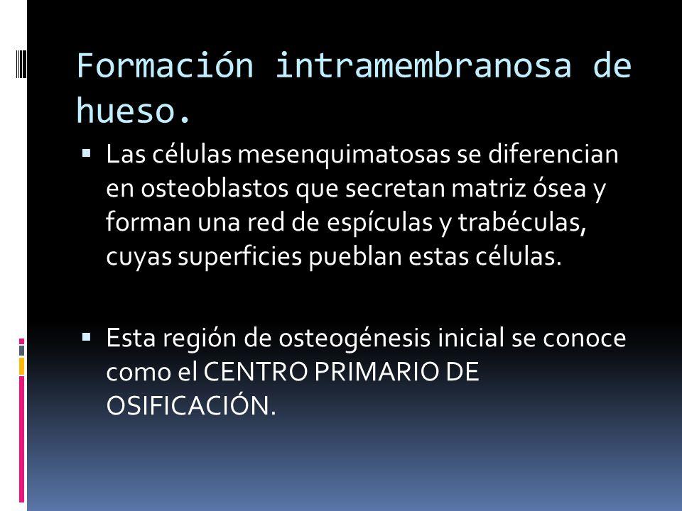 Formación intramembranosa de hueso. Las células mesenquimatosas se diferencian en osteoblastos que secretan matriz ósea y forman una red de espículas