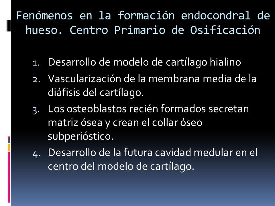 Fenómenos en la formación endocondral de hueso. Centro Primario de Osificación 1. Desarrollo de modelo de cartílago hialino 2. Vascularización de la m