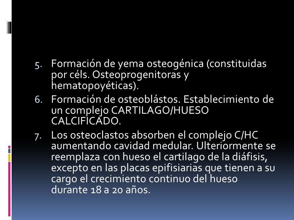 5. Formación de yema osteogénica (constituidas por céls. Osteoprogenitoras y hematopoyéticas). 6. Formación de osteoblástos. Establecimiento de un com