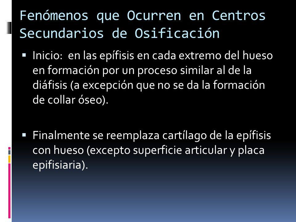 Fenómenos que Ocurren en Centros Secundarios de Osificación Inicio: en las epífisis en cada extremo del hueso en formación por un proceso similar al d