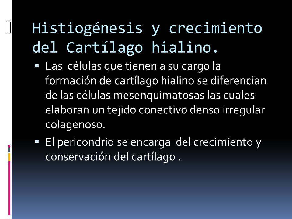 Histiogénesis y crecimiento del Cartílago hialino. Las células que tienen a su cargo la formación de cartílago hialino se diferencian de las células m