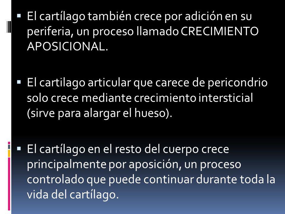 El cartílago también crece por adición en su periferia, un proceso llamado CRECIMIENTO APOSICIONAL. El cartilago articular que carece de pericondrio s