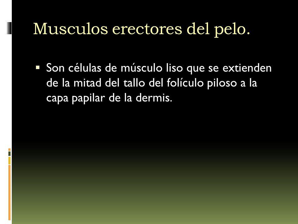 Musculos erectores del pelo. Son células de músculo liso que se extienden de la mitad del tallo del folículo piloso a la capa papilar de la dermis.