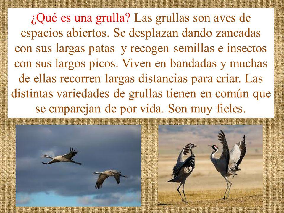 ¿Qué es una grulla? Las grullas son aves de espacios abiertos. Se desplazan dando zancadas con sus largas patas y recogen semillas e insectos con sus