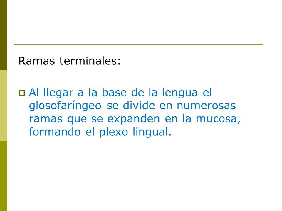 Ramas terminales: Al llegar a la base de la lengua el glosofaríngeo se divide en numerosas ramas que se expanden en la mucosa, formando el plexo lingual.
