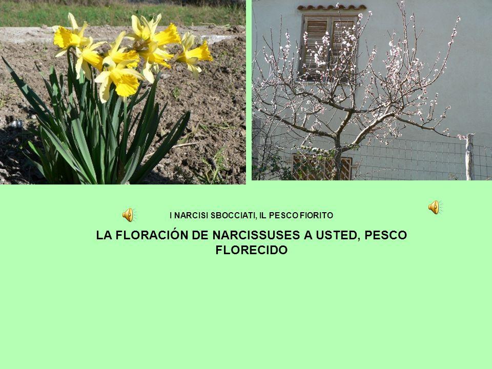 I NARCISI SBOCCIATI, IL PESCO FIORITO LA FLORACIÓN DE NARCISSUSES A USTED, PESCO FLORECIDO