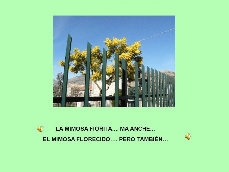 LA MIMOSA FIORITA.... MA ANCHE... EL MIMOSA FLORECIDO…. PERO TAMBIÉN…