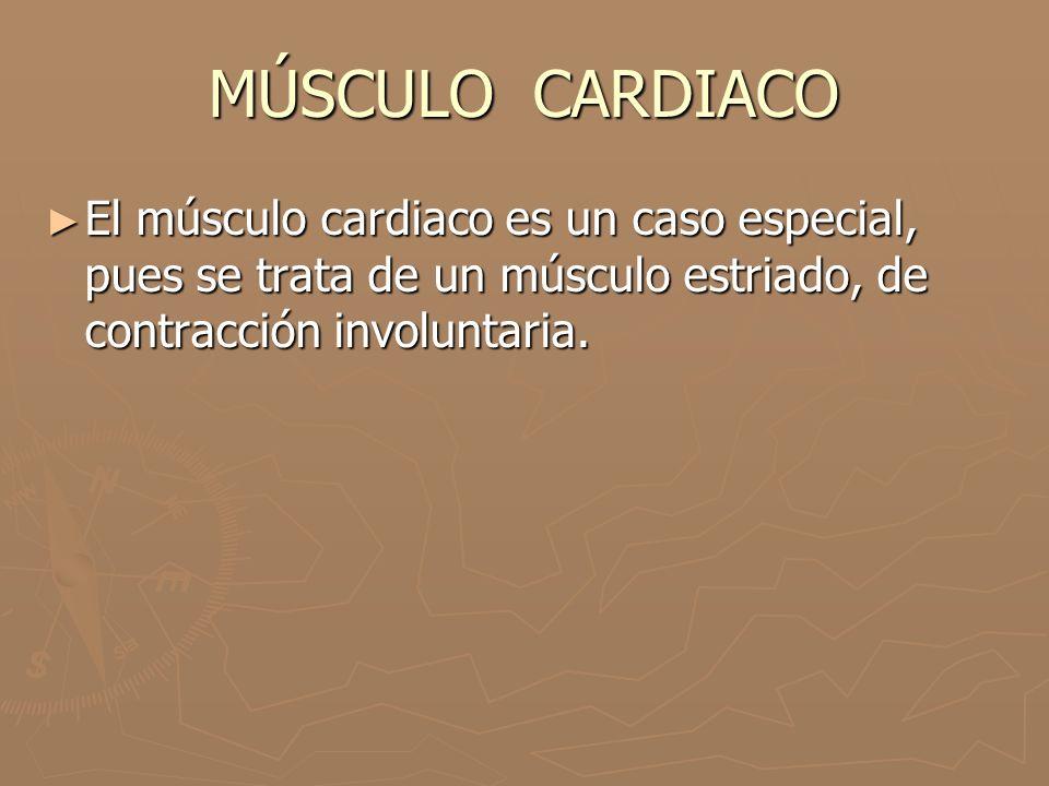 MÚSCULO CARDIACO ► El músculo cardiaco es un caso especial, pues se trata de un músculo estriado, de contracción involuntaria.