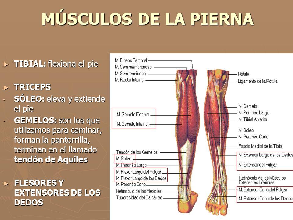 MÚSCULOS DE LA PIERNA ► TIBIAL: flexiona el pie ► TRICEPS - SÓLEO: eleva y extiende el pie - GEMELOS: son los que utilizamos para caminar, forman la p