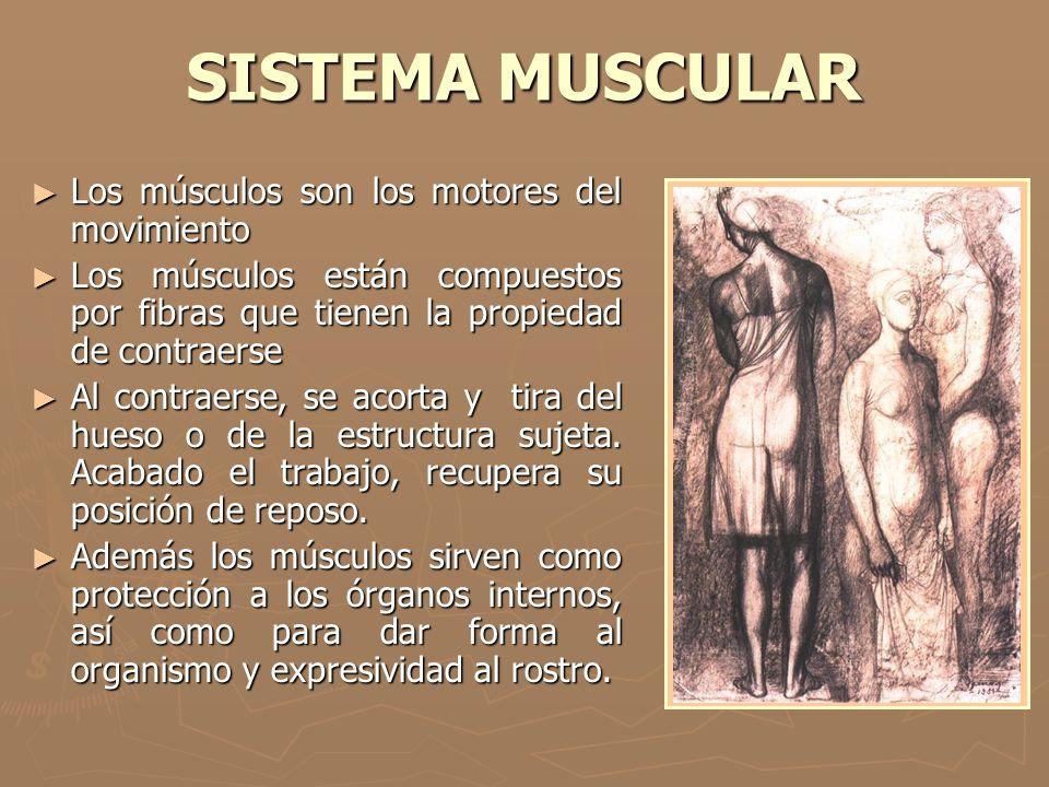 SISTEMA MUSCULAR ► Los músculos son los motores del movimiento ► Los músculos están compuestos por fibras que tienen la propiedad de contraerse ► Al c