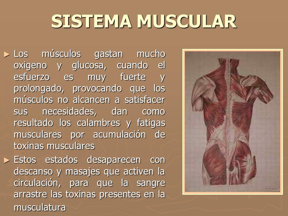 SISTEMA MUSCULAR ► Los músculos gastan mucho oxigeno y glucosa, cuando el esfuerzo es muy fuerte y prolongado, provocando que los músculos no alcancen