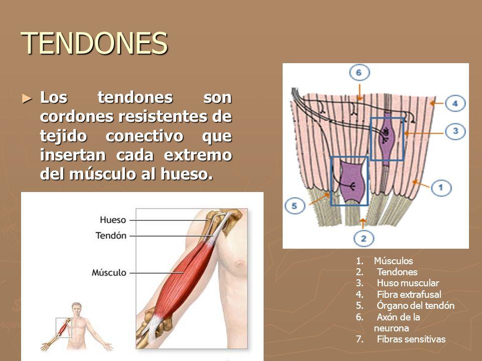 TENDONES ► Los tendones son cordones resistentes de tejido conectivo que insertan cada extremo del músculo al hueso. 1.Músculos 2. Tendones 3. Huso mu