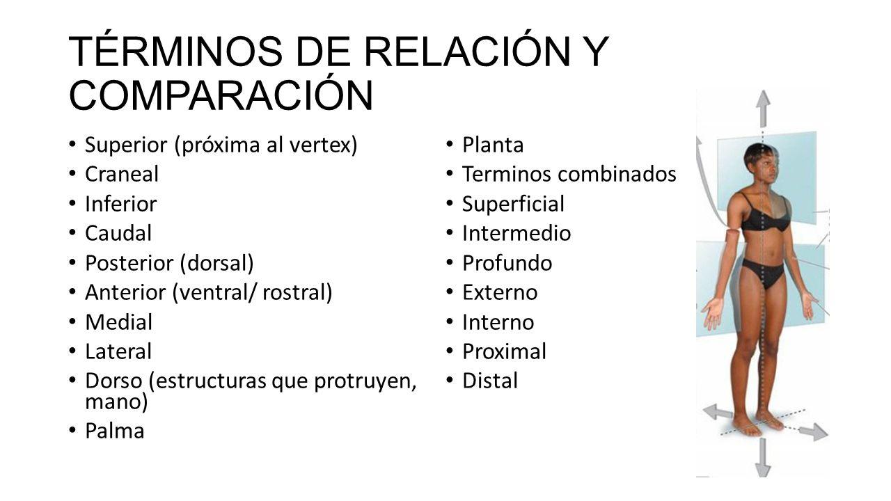 Perfecto Términos De Anatomía Y Definiciones Regalo - Anatomía de ...