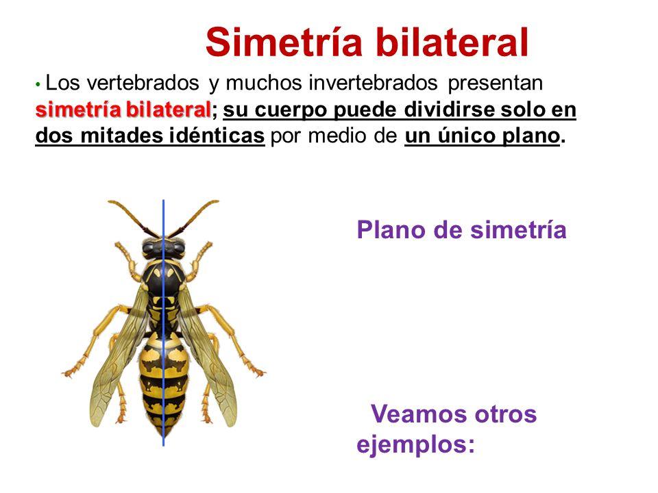 simetría bilateral Los vertebrados y muchos invertebrados presentan simetría bilateral; su cuerpo puede dividirse solo en dos mitades idénticas por medio de un único plano.